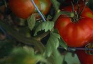 tomatoesveggieofmonth